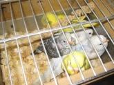 Canarios alzira, Animales de compañía