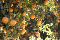 Nace la marca 'Naranja de Valencia'
