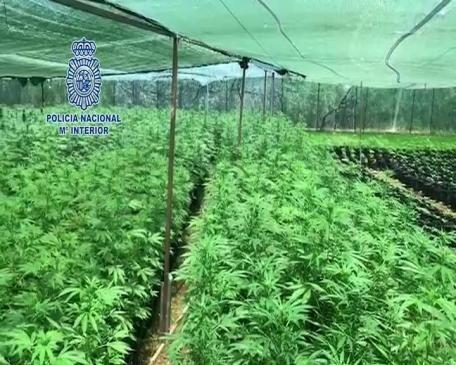 Desmantelan en Alzira una gran plantación de marihuana con 6.750 plantas