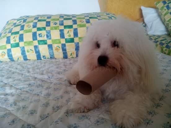 perro coton