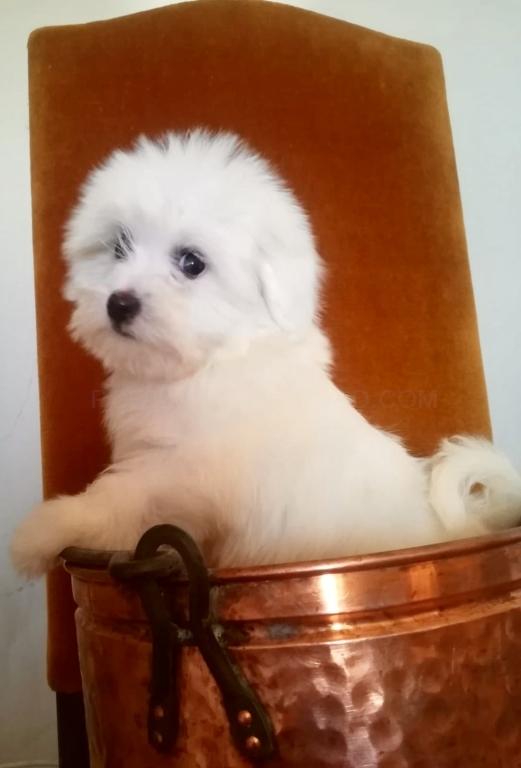 coton, cachorros de coton de tulear