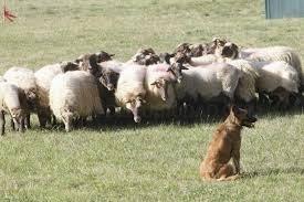 13 profesionales se forman en adiestramiento de perro pastor a través de la Diputación de Palencia
