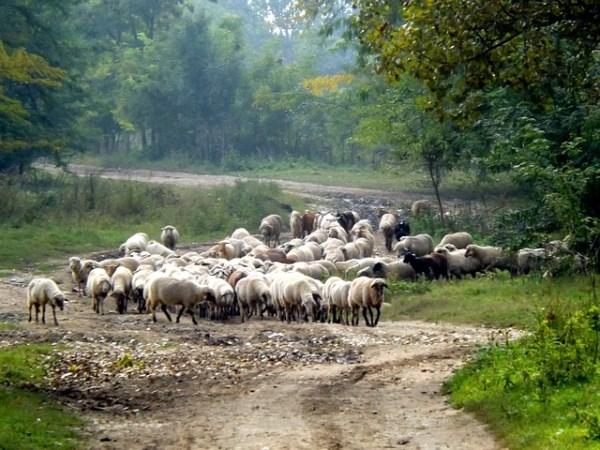 Un rebaño de más de tres mil ovejas volverá a recorrer las cañadas y cordeles de Guadarrama a través de la trashumancia