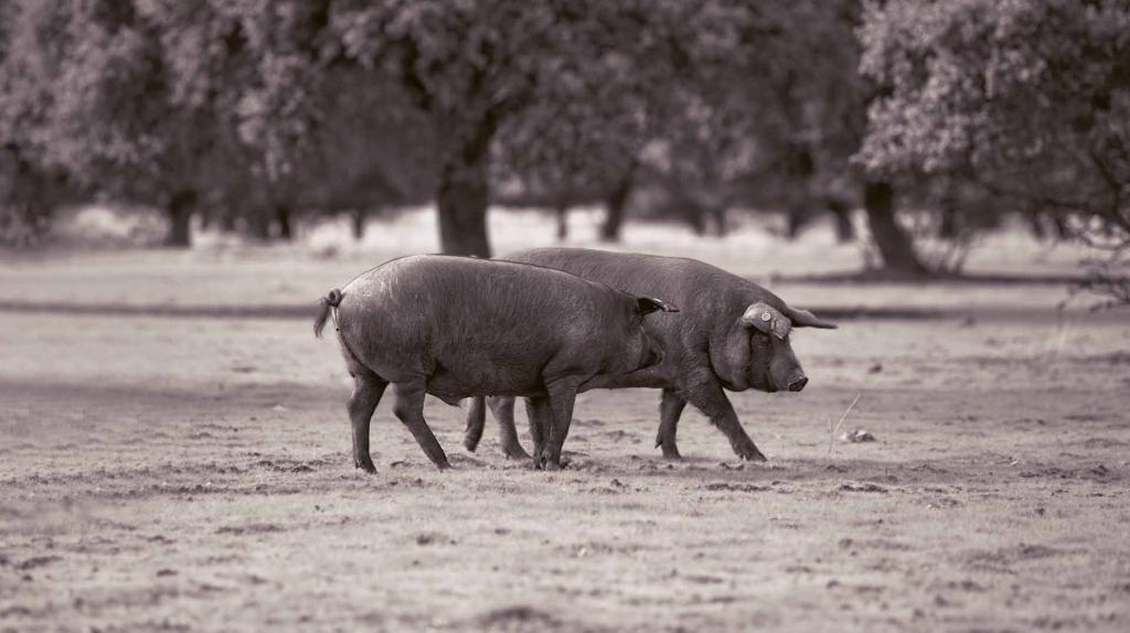 cerdos en una dehesa