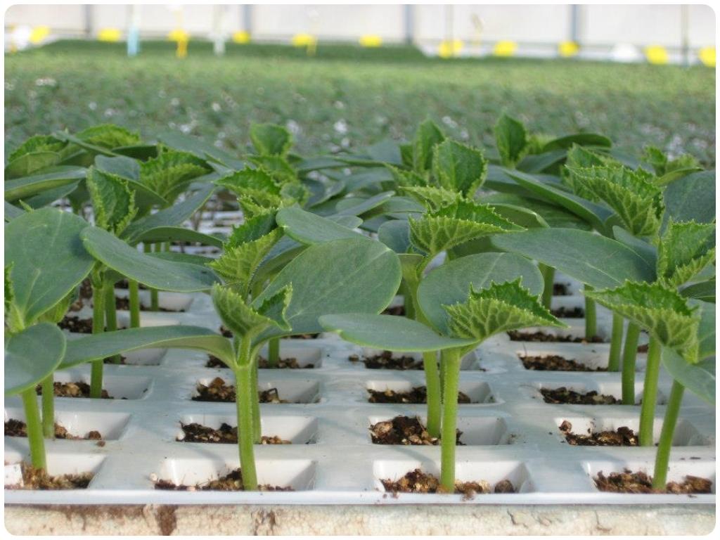 cultivos en motril, calabacines en motril, guisantes en motril, judias en motril, coles en motril,