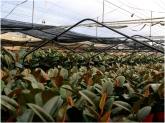 micropropagacion en motril, invernaderos en motril, invernaderos en salobreña, plantas motril,