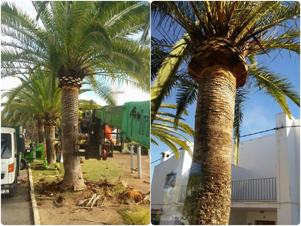 poda de palmeras en motril, poda de palmeras en salobreña, poda de palmeras en almuñecar,
