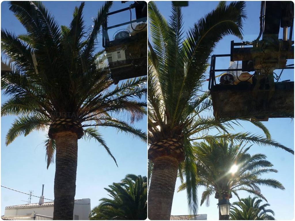 poda de palmeras en torrenueva, poda de palmeras en calahonda, poda de palmeras en castell de ferro