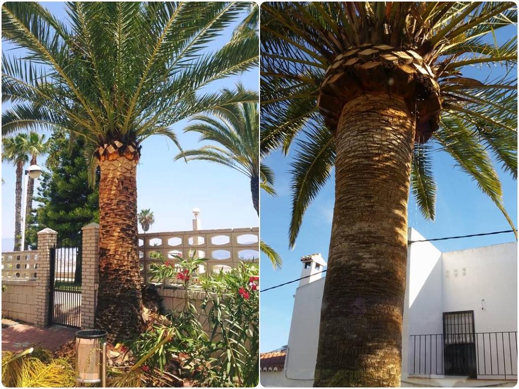 poda de palmeras en granada, poda de palmeras en malaga, poda de palmeras en almeria