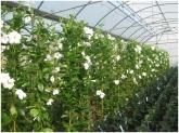 trepadoras en la herradura, plantas de copa en motril, plantas de copa en salobreña,