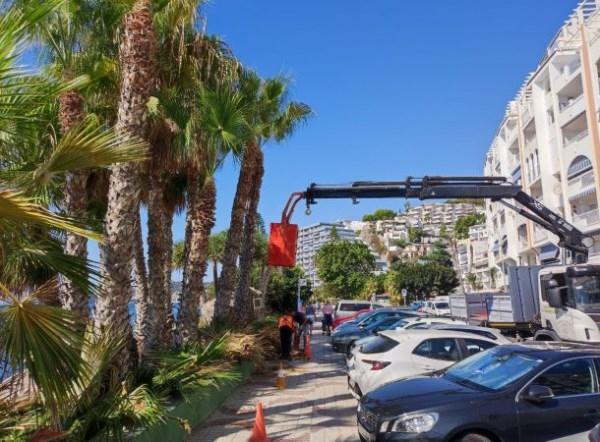 El Ayuntamiento de Almuñécar solicita la colaboración de los vecinos en las tareas de limpieza de palmeras.
