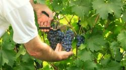 Se incrementa en un 10 % la producción máxima de la vendimia 2018 para Vinos de Madrid