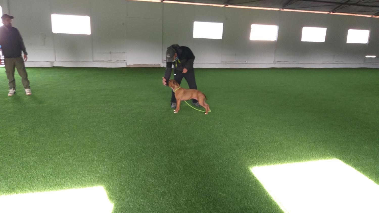 obediencia canina,adiestramiento,Manipulaciones neonatales,educar pastor alemán