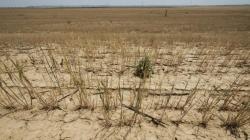 La cosecha del cereal será la peor en 25 años