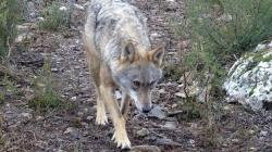 La UE inicia hoy en Ávila su visita para ver los daños del lobo, el punto más crítico