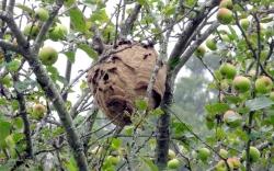 En el 2017 descendió el número de nidos de avispa asiática en Álava