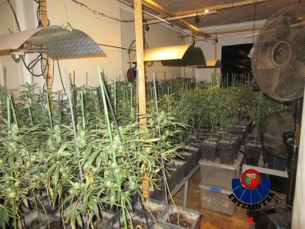 Ertzaintzak 1.600 marihuana landaretik gora aurkitu ditu Zigoitiako etxebizitza batean
