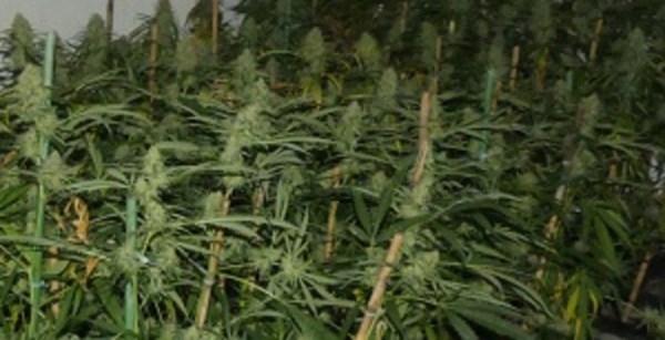 Detenido en Gasteiz por la posesión de 150 gramos de marihuana