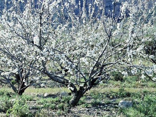 El blog de la fiesta del Cerezo en Flor del Valle del Jerte mostrará diariamente el estado de estos frutales