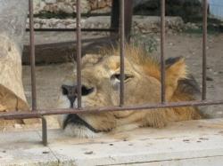 El Gobierno cierra el núcleo zoológico de Son Servera e incauta las dos leonas y la leoparda ante el mal estado en que se encontraban