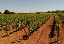 Las Islas Baleares contarán con casi 95 ha más de viña