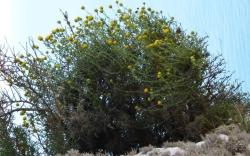 La manzanilla des Vedrà, reconocida como especie distinta
