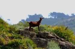 El 68% de los tejos inventariados de la Serra son destruidos por la acción de las cabras salvajes