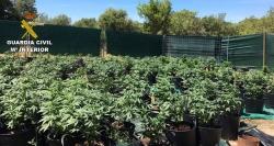 Desmantelada una plantación de 'marihuana' en la localidad de Porreres