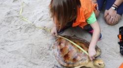 Treinta y cinco tortugas varadas en las Islas Baleares en el 2017