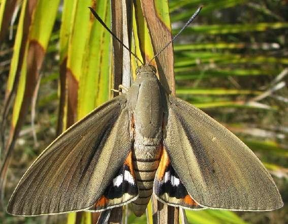 Mariposa invasora en Artà