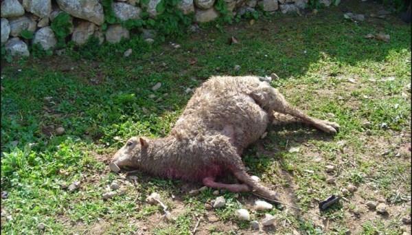 Se establece un protocolo ante los ataques de perros en las producciones ganaderas de Mallorca