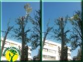 Tala de árboles,  Tala de árboles en alcobenadas