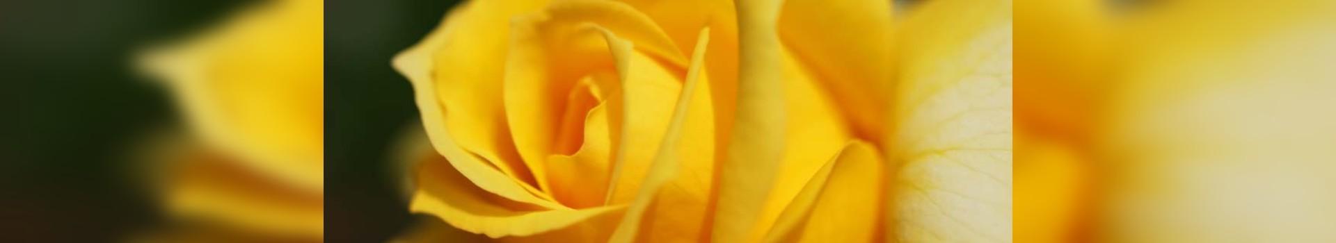 flor cortada en zona norte de madrid, flor cortada en madrid, mayorista peonias
