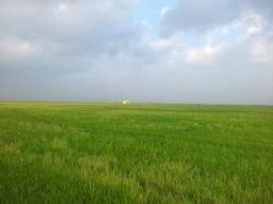 Un hongo causa una caída en la cosecha del arroz de un 15% y pérdidas millonarias