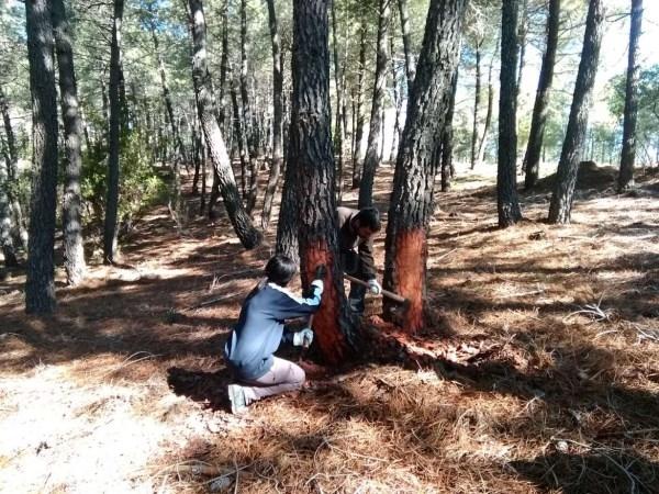 Medio Ambiente autoriza la resinación en cinco matas y más de 13.000 pinos en Caminomorisco.