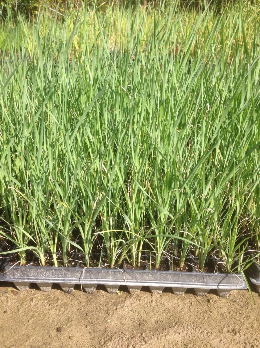 plantación y mantenimiento de césped extremadura
