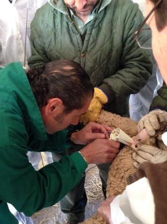 El Censyra celebra un curso sobre inseminación artificial ovina para profesionales del sector dada la importancia creciente de esta práctica