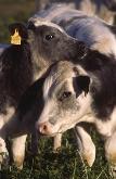 vaca menorquina