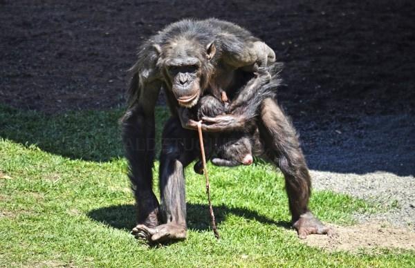 Nace una cría de chimpancé a la vista del público en BIOPARC Valencia