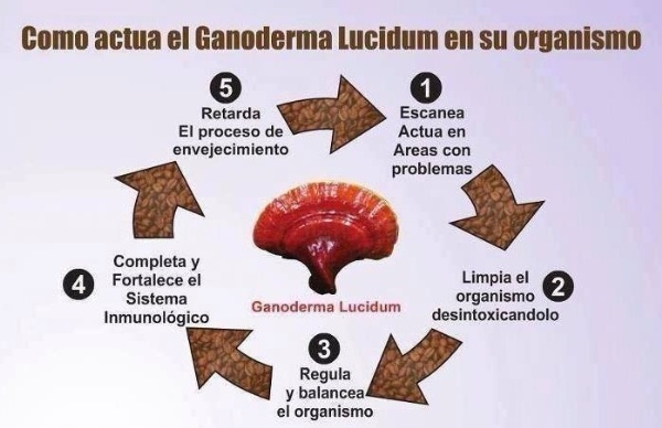 Café saludable gourmet Ganoderma