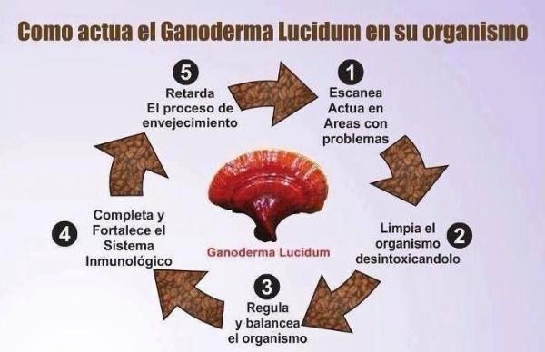 Café saludable gourmet Ganoderma
