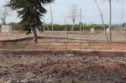 El Puig recupera la presencia de olmos en el municipio