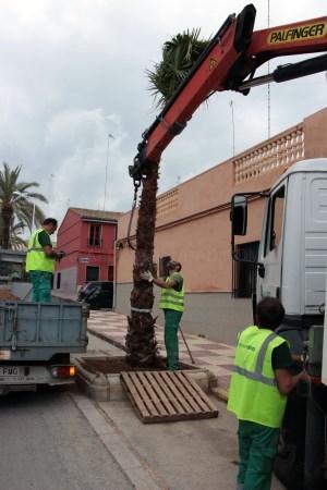El Ayuntamiento trabaja en la reposición de palmeras en Picassent