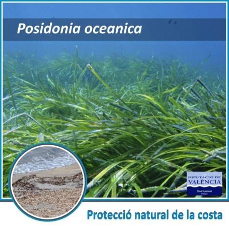La Diputació promueve la concienciación para la conservación y protección de la posidonia oceánica